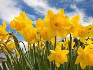 A photo of Daffodils